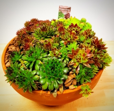 Sempervivum Bowl